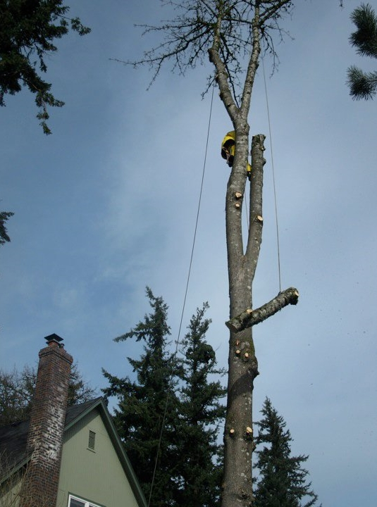 Tree Masters Portland: Correct tree removal is completely controlled